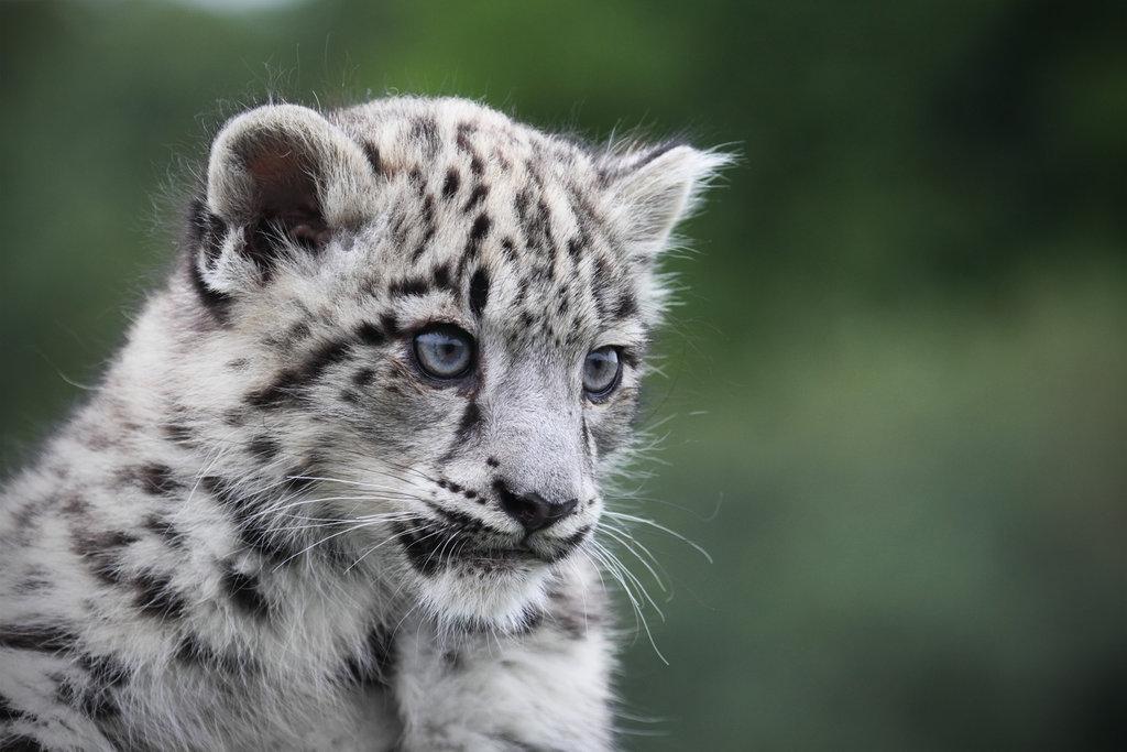 Snow Leopard Cub by *SnowPoring