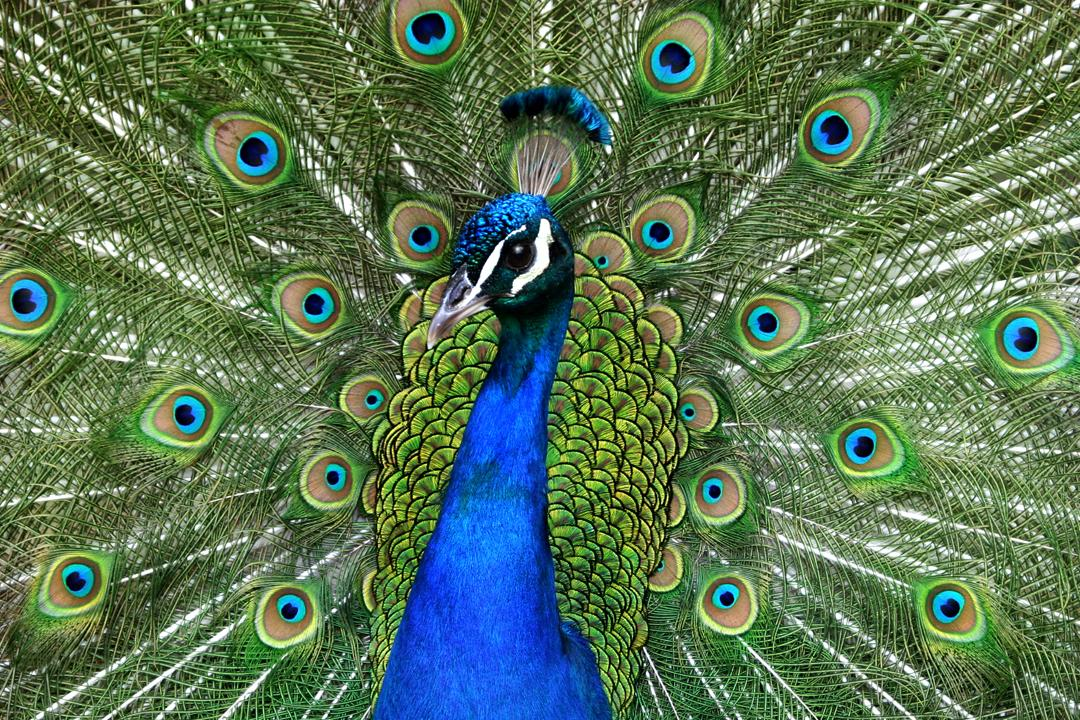 Mr Peacock by ~scoot75