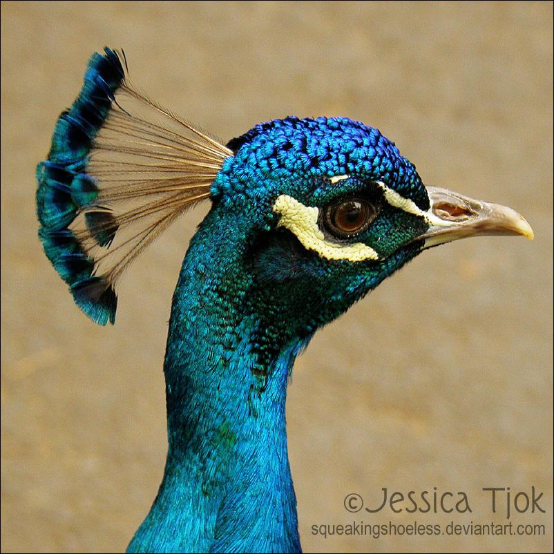 Peacock by ~SqueakingShoeless