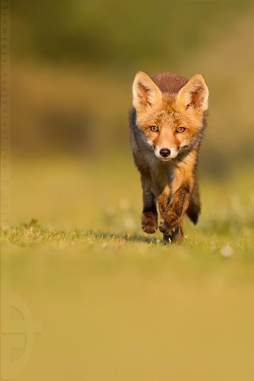 Run, Fox, run... by *thrumyeye