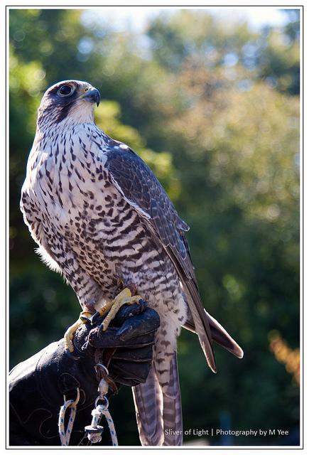 Gyrfalcon | Flickr - Photo Sharing!