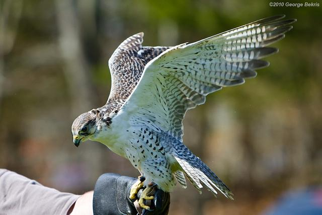 All sizes | Gyrfalcon | Flickr - Photo Sharing!