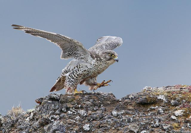 Gyrfalcon (Fálki)-13 | Flickr - Photo Sharing!