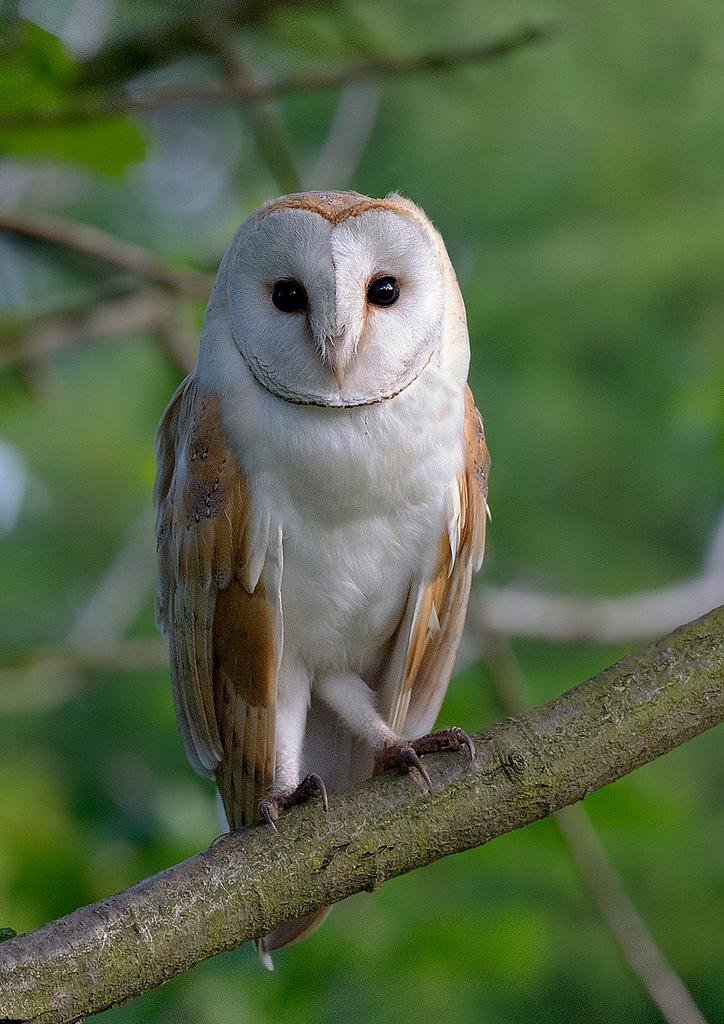 All sizes | barn owl iso 3200? | Flickr - Photo Sharing!