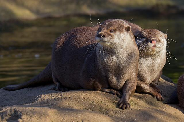 Otters   Flickr - Photo Sharing!