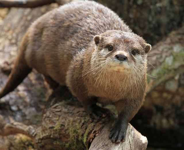 Otter 2 | Flickr - Photo Sharing!