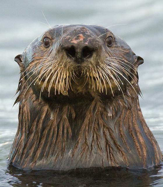 Sea Otter | Flickr - Photo Sharing!