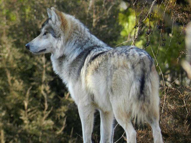 Mexican Gray Wolf | Flickr - Photo Sharing!