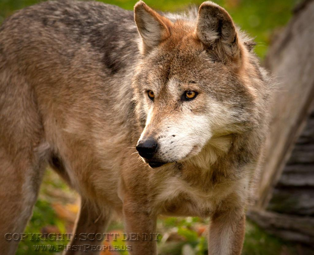 Stare Down (Mexican Gray Wolf aka Canis lupus baileyi)