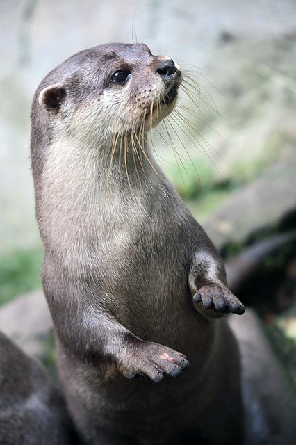 Otter portrait 2 | Flickr - Photo Sharing!
