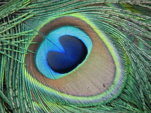 Google Image Result for https://deviousnation.files.wordpress.com/2012/04/peacock-eye.jpg