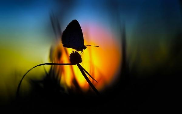 nature,Sun nature sun dawn flowers butterfly silhouette fields 1920x1200 wallpaper – Butterflies Wallpaper – Free Desktop Wallpaper