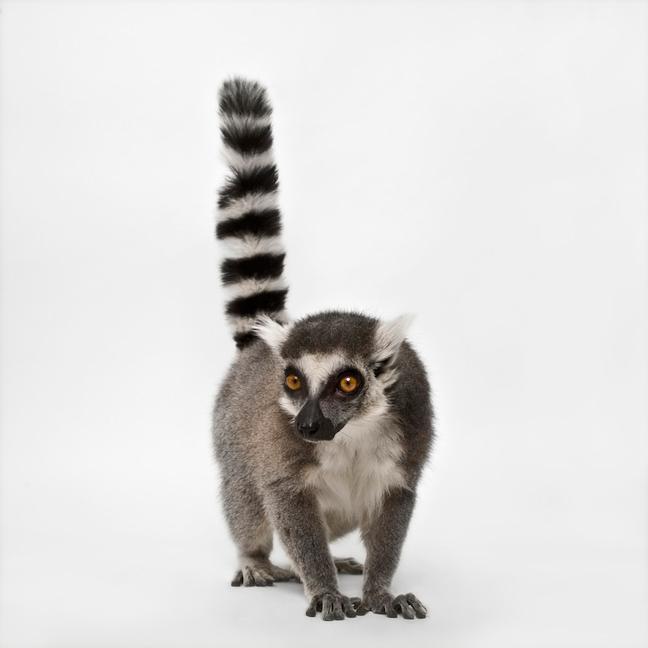 Résultats Google Recherche d'images correspondant à http://rawtake.net/wp-content/uploads/2008/03/aristides-lemur-vince-musi.jpg