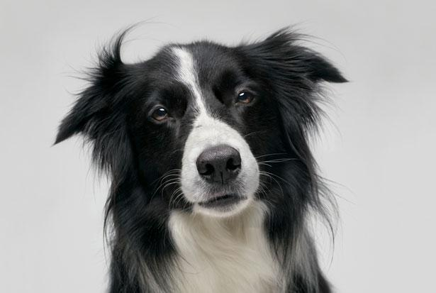 Résultats Google Recherche d'images correspondant à http://cambridgecanine.com/wp-content/uploads/2011/10/dog_border-collie1.jpeg