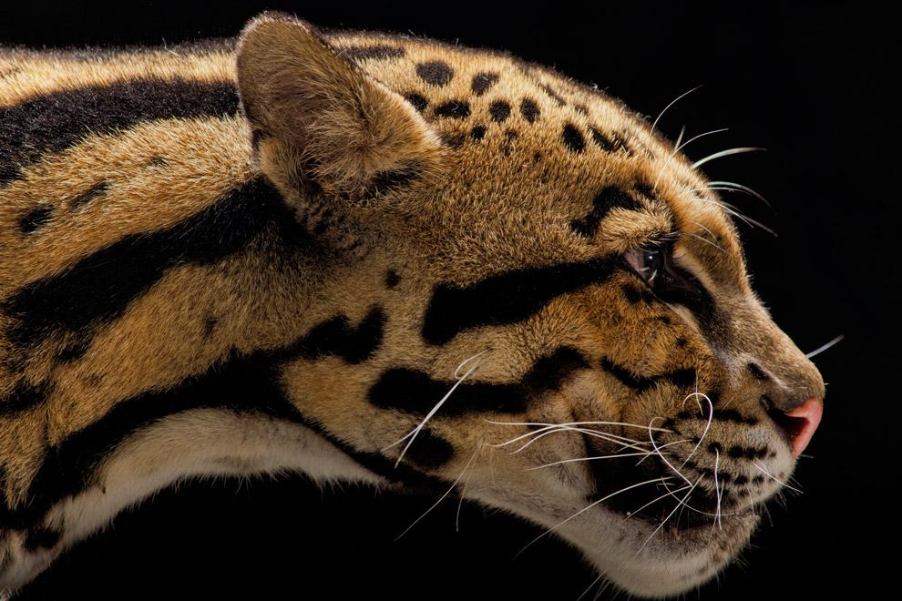 Big Cats in Danger - Pictures, More From National Geographic Magazine