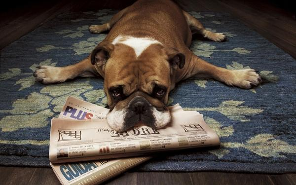 animals,floor floor animals dogs funny lying down newspapers rugs wood floor 1920x1200 wallpaper – Dogs Wallpaper – Free Desktop Wallpaper