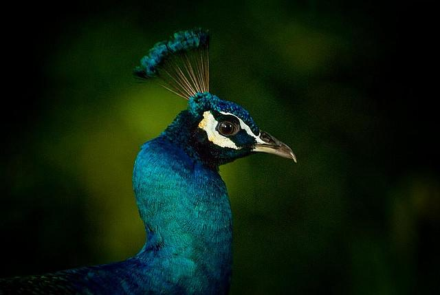 Peacock On a Tree Branch | Flickr - Photo Sharing!