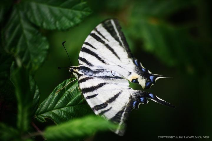 Butterfly VI - 54ka [photo blog]
