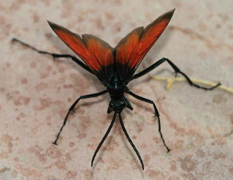 Tarantula Hawks (Pepsis sp.) - The Firefly Forest