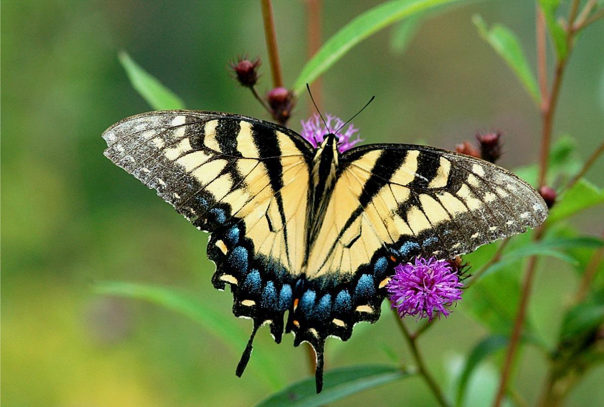 butterfly.sflb.ashx (1193×804)