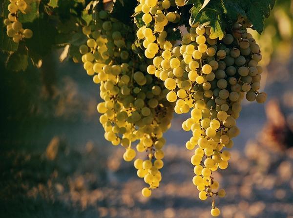 nature,fruits nature fruits photography focus grapes 1608x1200 wallpaper – Fruits Wallpaper – Free Desktop Wallpaper