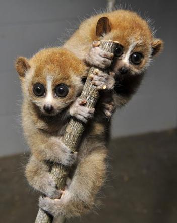 Ecco i due piccoli lemuri gemelli - Tgcom24 - Foto 5