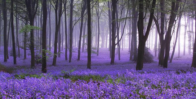 Bluebell Dawn: Photo by Photographer Barry Wakelin - photo.net