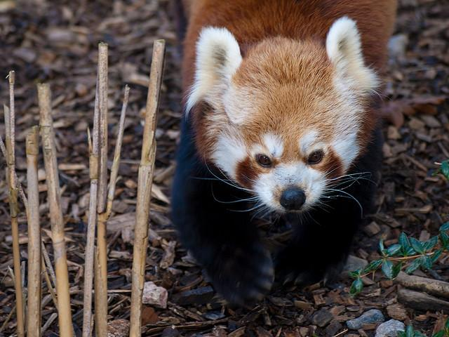 Red Panda | Flickr - Photo Sharing!