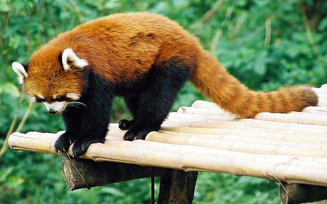 red panda 10 | Flickr - Photo Sharing!