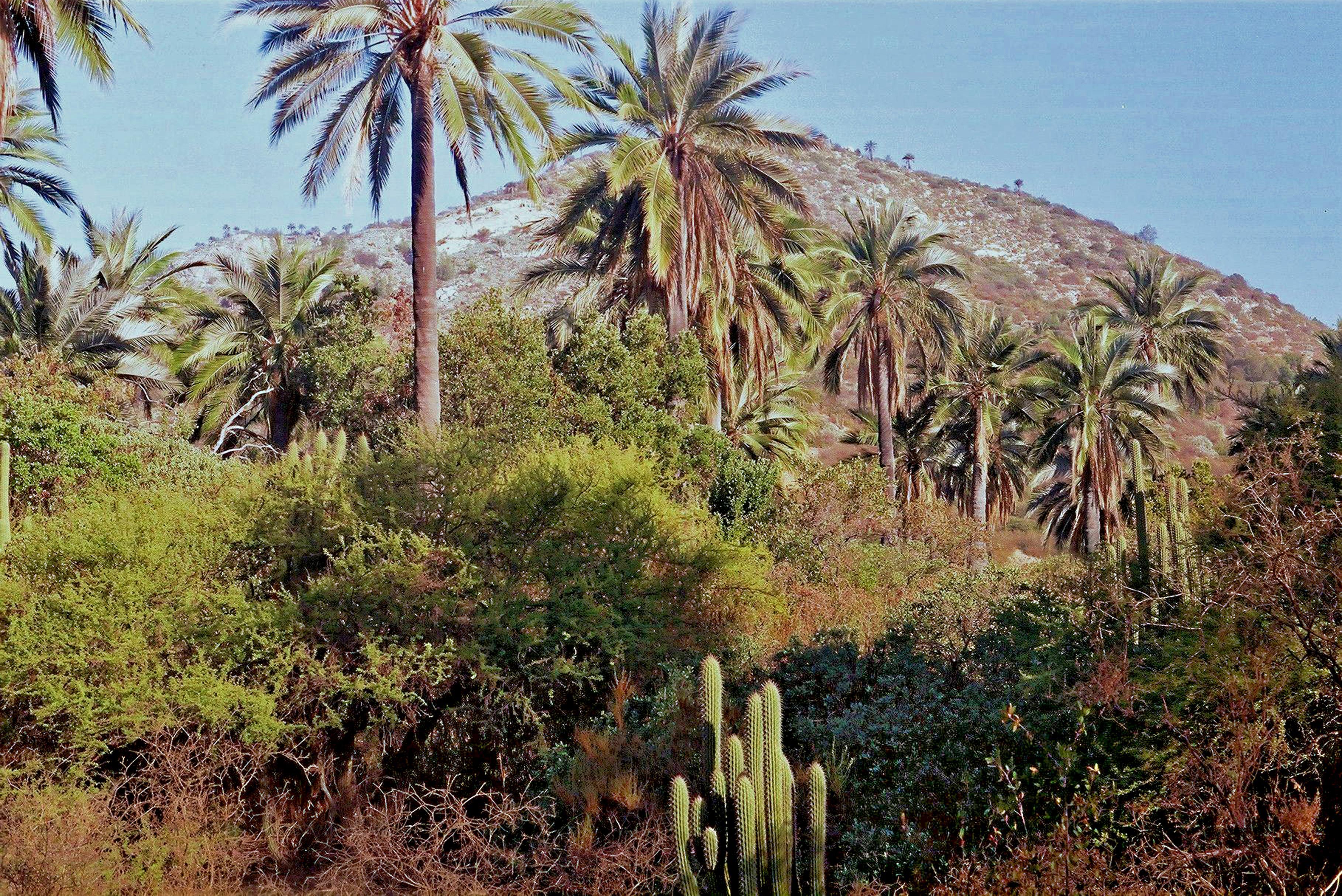 Jubaea_chilensis_-_Palmares_de_Ocoa_-_Chile_por_Jorge_Leon_Cabello_-_002.jpg (Image JPEG, 3636x2428 pixels) - Redimensionnée (34%)