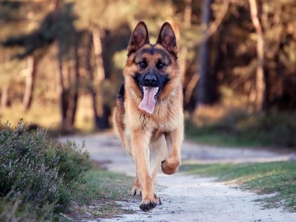 dogs,canine dogs canine german shepherd 1600x1200 wallpaper – Dogs Wallpaper – Free Desktop Wallpaper