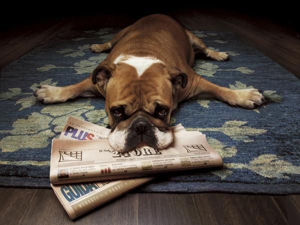 dogs,bulldog dogs bulldog newspapers english bulldog 1920x1440 wallpaper – Dogs Wallpaper – Free Desktop Wallpaper
