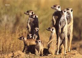 meerkat - Google Search
