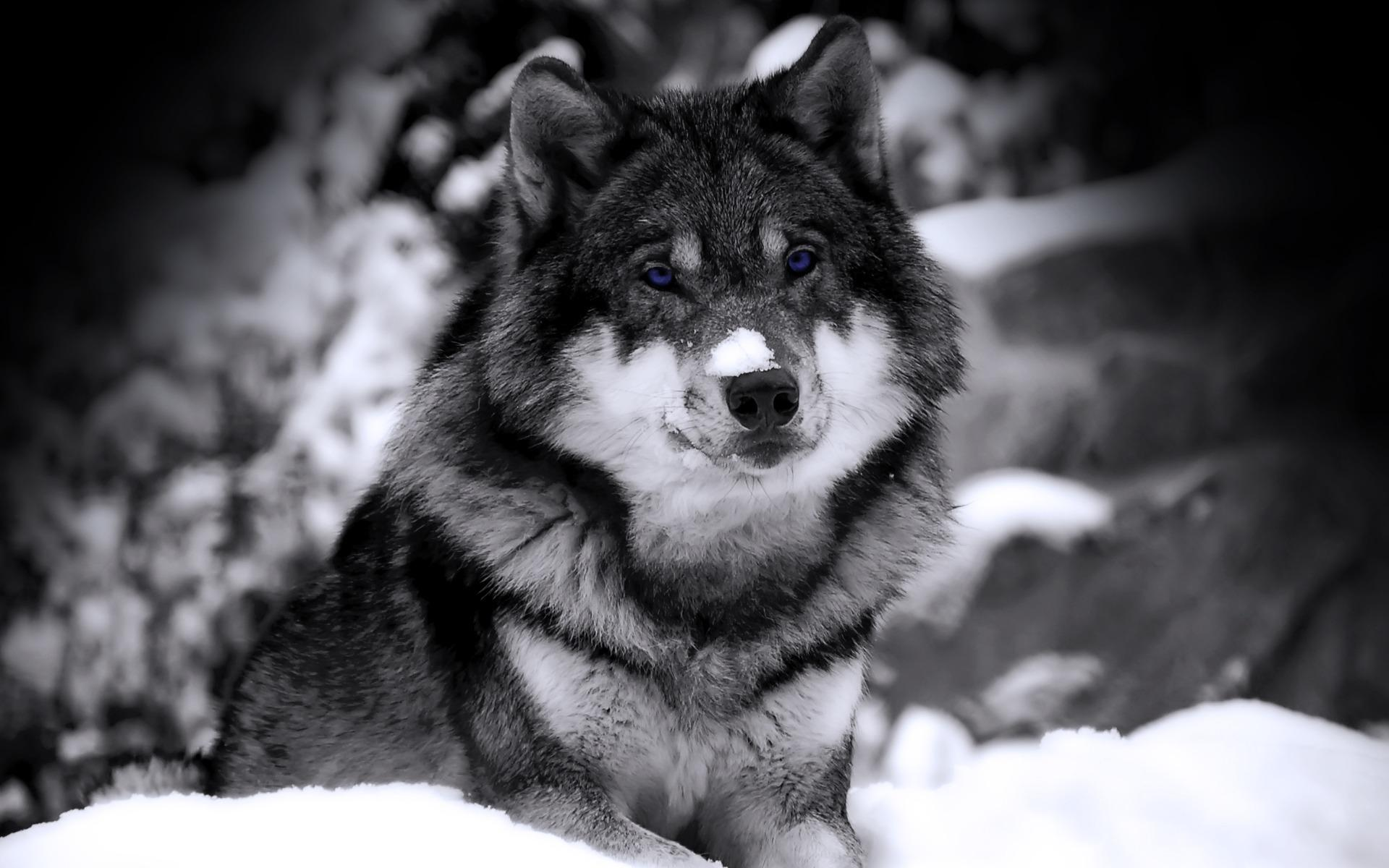 nature snow animals photography beast husky grayscale selective coloring wolves - Wallpaper (#110510) / Wallbase.cc