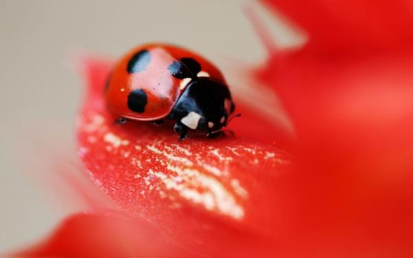 nature,bugs nature bugs macro ladybirds 2560x1600 wallpaper – Bugs Wallpaper – Free Desktop Wallpaper