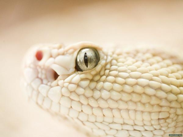 eyes,wildlife eyes wildlife snakes 1600x1200 wallpaper – wildlife Wallpaper – Free Desktop Wallpaper