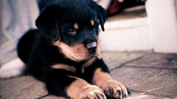 dogs,animals animals dogs rottweiler 1920x1080 wallpaper – Dogs Wallpaper – Free Desktop Wallpaper