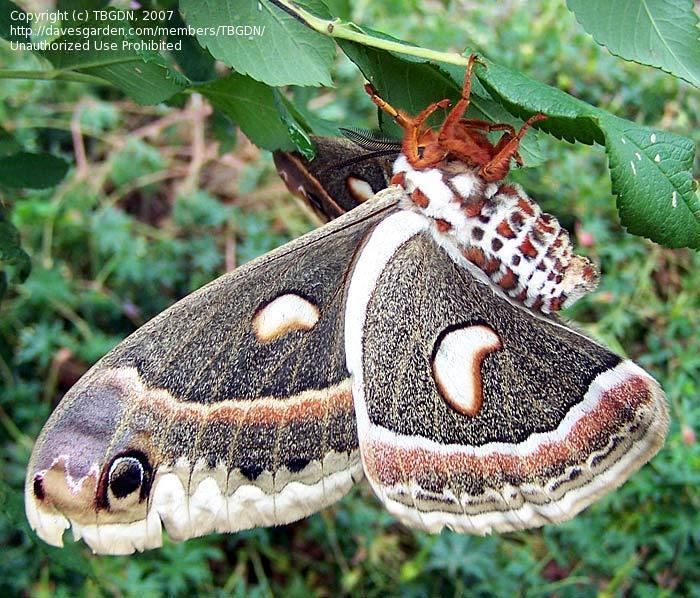 Image #7 of the bug Giant Silkworm Moth, Robin moth (Hyalophora cecropia)
