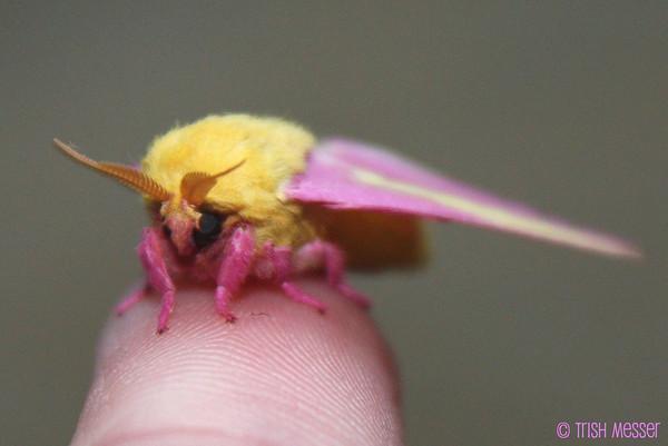 Rosy Maple Moth - Trish's Photography