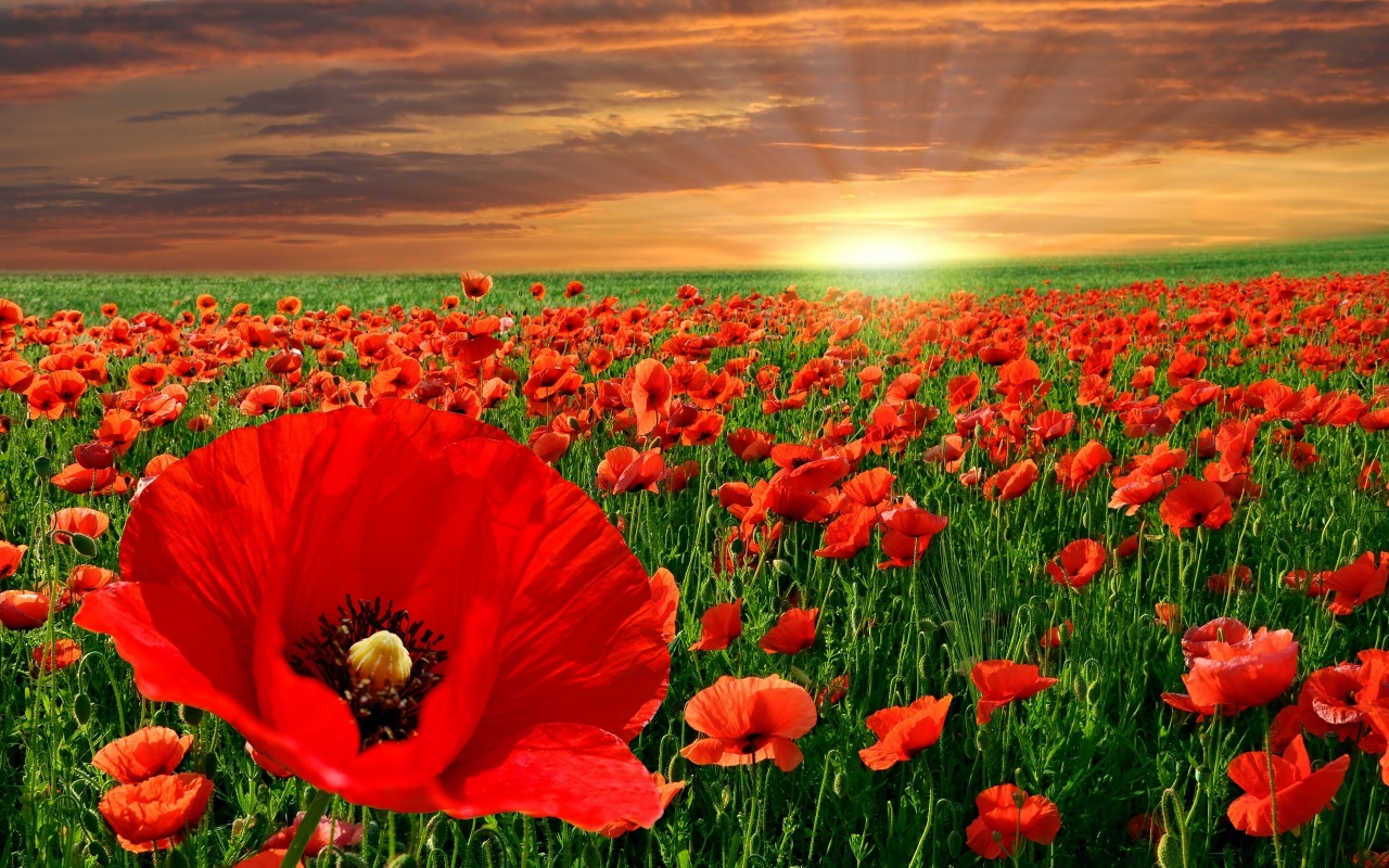 Flower Wallpaper Free Red Poppy Flowers