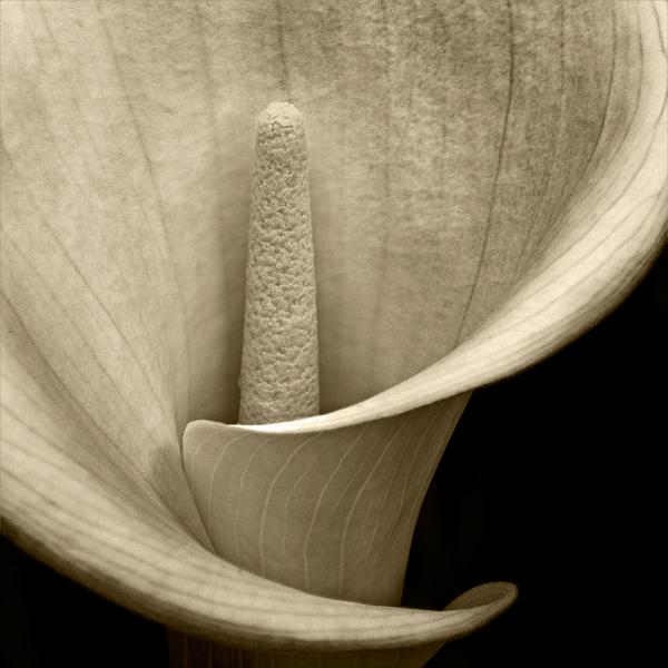 Calla Lily 2: Photo by Photographer Mark Tracey - photo.net