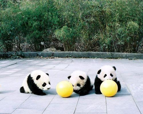 Panda / Meat Pudding ~ ? :3 on we heart it / visual bookmark #10198913