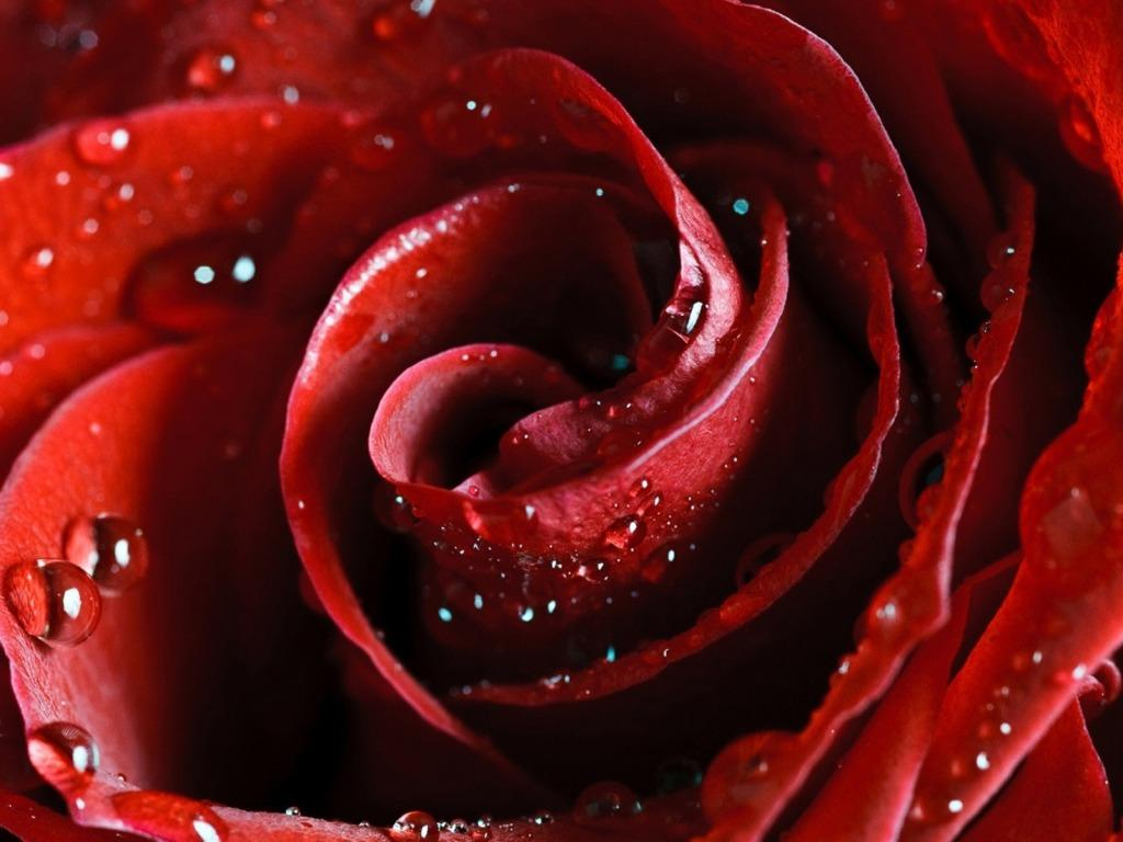 Amazing Red Rose 1024 x 768 Wallpaper | eWallpapers
