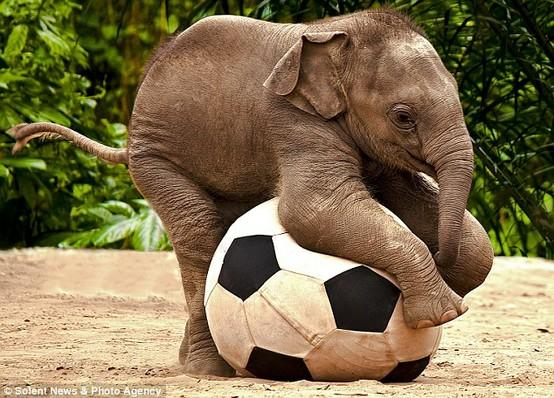 Photography / Fancy Footwork by Renee Doyle, dailymail.co.uk: Luk Chai, a baby Asian Elephant at Taronga Zoo, New South Wales, Australia. #Elelphant #Soccer #Australia #Renee_Doyle