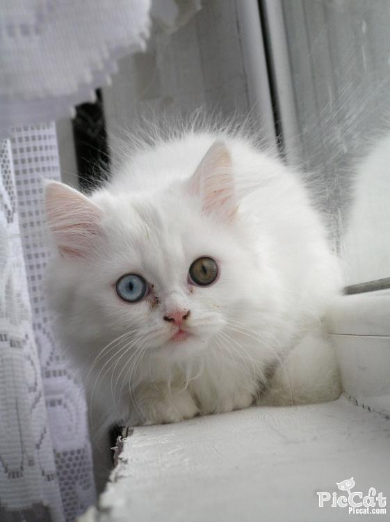 Shoshi - odd-eyed persian