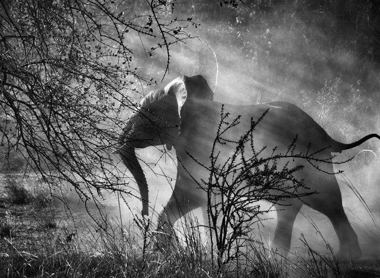 Peter Fetterman Gallery - Kafue National Park, Zambia [elephant] - Sebastião Salgado - 1stdibs