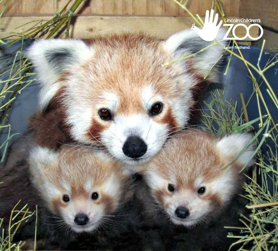 Animals / Double the adorableness - twin Red Pandas at Nebraska's Lincoln Children's Zoo!