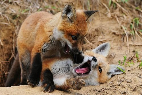 Animals / playing foxes!