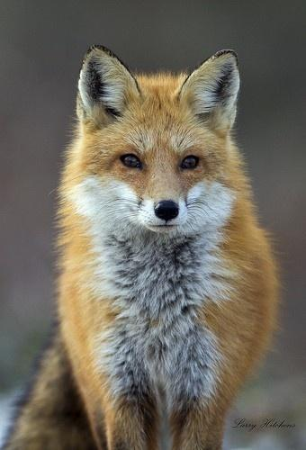 Favorite Wild Animals / Fox / Red Fox