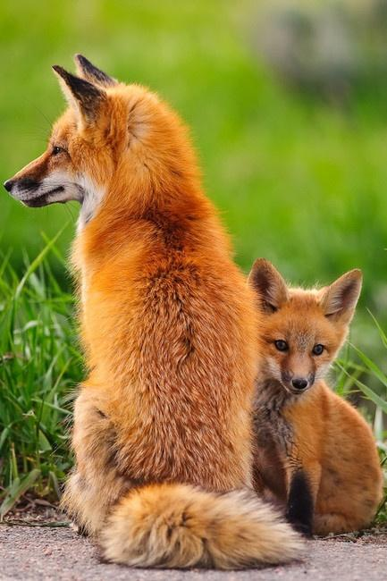 Favorite Wild Animals / red fox.